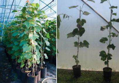 fóliovník rostliny